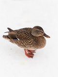 Duck in the snow Stock Photos