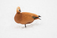 Duck in the snow Stock Photography