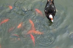 A duck and some fish. An image of a duck on the surface of a small lake. Swim with it, there are plenty of fish, some of these fish are bright orange. The rest royalty free stock photos