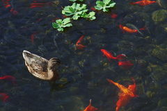 A duck and some golden fishes. There are some golden fishes and a duck in the water Royalty Free Stock Photography