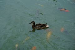 A duck and some koi in a lake in Maibor. Slovenia Royalty Free Stock Photography