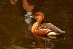 Duck South Africa de assobio Fulvous Imagens de Stock