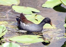 A Duck in South Florida royalty free stock photos