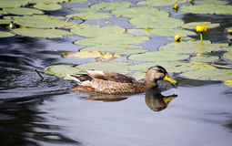 Duck and spatterdock Stock Image