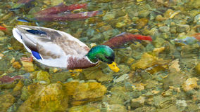 Duck and Spawning Salmon. Mallard Duck and Spawning Salmon in Taylor Creek near Lake Tahoe, California Royalty Free Stock Image