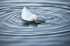 Duck Splash. A duck splashes for food stock photos