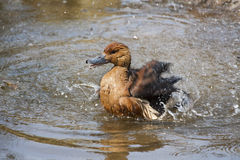 Duck splashes in the pond. Royalty Free Stock Photos