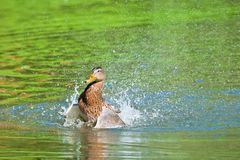 Duck Splashing Water Royalty Free Stock Images