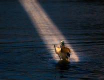 Duck in spotlight. Mallard singing a Serenade in spotlight Stock Images