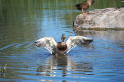 Duck spreading its wings Royalty Free Stock Photos