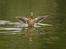 Duck spreads wings Stock Image