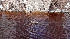 Duck in spring river stock video footage