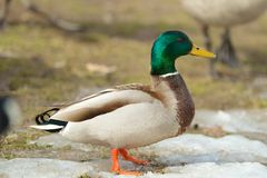 Duck in the Spring thaw Stock Images