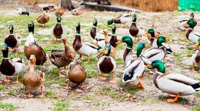 a duck squad waiting for feeding Stock Images