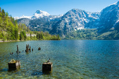 Duck stand sunbathing on the stumps in the lake. Duck stand sunbathing on the stumps in the lake and foregound snow mountain in clear blue sky day on summer Royalty Free Stock Photos