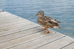 A duck stand on the wooden bridge. A Duck walking over a wooden pedestrian bridge Royalty Free Stock Photo