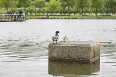 The duck is standing on concrete royalty free stock photography