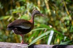 Duck Standing en una pata Fotografía de archivo libre de regalías