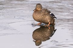 Duck on ice royalty free stock images