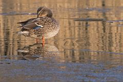 A duck standing on the ice Southampton royalty free stock photos
