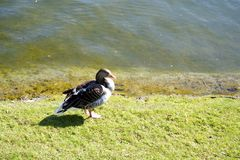 Duck standing by a lake Royalty Free Stock Image