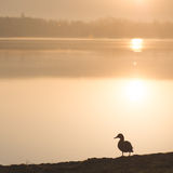 Duck standing by the lake Royalty Free Stock Photography