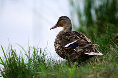 Duck standing near the pond stock photo