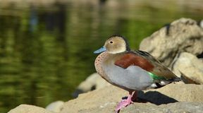 Duck standing near water Royalty Free Stock Photography