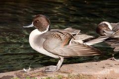 Duck Standing Next zu einem Teich Stockfotografie