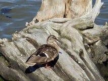 Duck Standing noir sur le rondin Photo stock