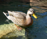 Duck standing on a rock Royalty Free Stock Photos