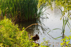 Duck standing on the shore of the lake Stock Image