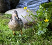 Duck standing by some flowers stock image