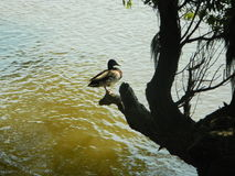 A duck Royalty Free Stock Images
