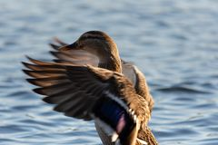 Duck flapping wings. A duck standing in the water flapping its wings stock photos