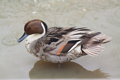 Duck standing in water. Photo of a beautiful duck standing in water Royalty Free Stock Photography
