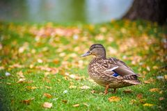 Duck stands on the Bank of the river near the grass. Stock Photography
