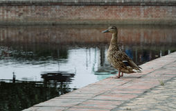 Duck stands on shore near the city pond and looks into the distance Royalty Free Stock Photo