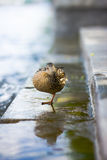 A duck. Stands on the shoren Stock Photo
