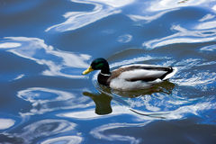 A duck Royalty Free Stock Photos