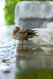 A duck. Stands on the shoren Stock Photos