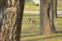 Duck staring between trees in the park. Bird walking between trees in the park royalty free stock photography