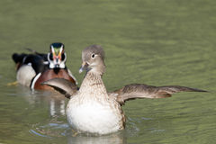 Duck while starting Royalty Free Stock Photography