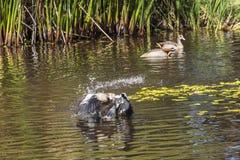 Duck starting to fly from water inside Kirstenbosch botanical garden, Cape Town stock photos
