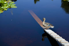 Duck staying on a plank Royalty Free Stock Photos