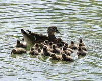 Free Duck Stock Photos.   Ducks Close-up Profile View.  Duck Babies And Mother Stock Photography - 165320192