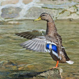 Duck on a stone on a background of stream. Female of mallard duck  on a stone on a background of stream Royalty Free Stock Photography