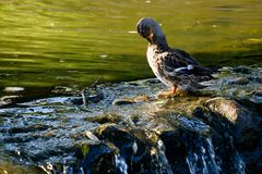 Duck on the pond. Duck on the stones near the pond Stock Images