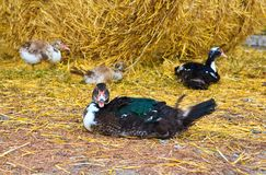 Duck straw. Sammer background animal Royalty Free Stock Photography