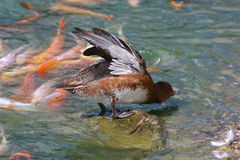 Duck Stretching. A duck stretches and shakes his wet wings while standing on a rock with colorful Japanese Koi Carp Fish in the water around him Stock Image